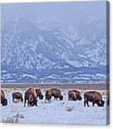 Bison On Antelope Flats Canvas Print