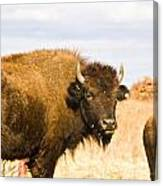 Bison On Tall Grass Iv Canvas Print