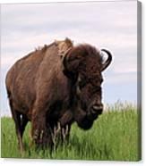 Bison On The Prairie Canvas Print