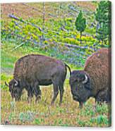 Bison Pair In Hayden Valley In Yellowstone National Park-wyoming  Canvas Print