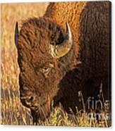 Bison Potrait At Teh Elk Ranch In Grand Teton National Park Canvas Print