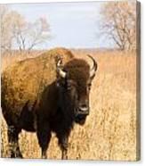 Bison Tall Grass Canvas Print