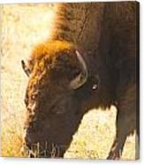 Bison Wander Canvas Print