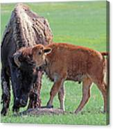 Bison With Young Calf Canvas Print