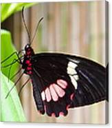 Black And Red Cattleheart Butterfly Canvas Print