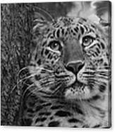 Black And White Amur Leopard Canvas Print