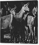 Black And White Antelopes Canvas Print