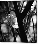 Black And White Appleblossom Canvas Print