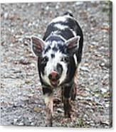 Black And White Baby Pig Canvas Print