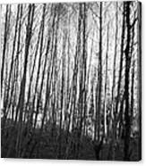Black And White Birch Stand Canvas Print