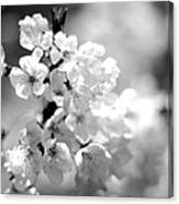 Black And White Blossoms Canvas Print