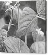 Black And White Kentucky Wonder Canvas Print