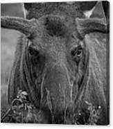 Black And White Moose Close Up Canvas Print