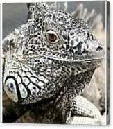 Black And White Saurian Animal Nature Iguana Canvas Print