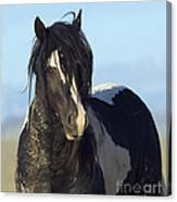 Black And White Stallion Comes Close Canvas Print