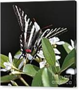 Black And White Swallowtail Square Canvas Print