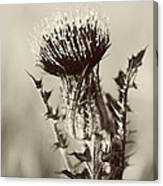 Black And White Thistle Canvas Print