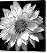 Black And White Zennia Canvas Print