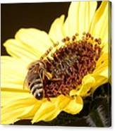 Black And Yellow Bee Beauty Canvas Print
