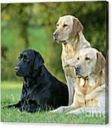 Black And Yellow Labrador Retrievers Canvas Print