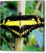 Black And Yellow Swallowtail Butterfly Canvas Print