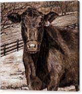 Black Angus In The Field Canvas Print