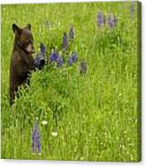 Black Bear   Ursus Americanus Canvas Print