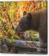 Black Bear Autumn Canvas Print