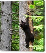 Black Bear Cub Climbing A Pine Tree Canvas Print
