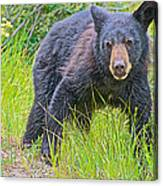 Black Bear Cub Near Road In Grand Teton National Park-wyoming Canvas Print