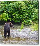 Black Bear Eating A Salmon In Fish Creek In Tongass National Forest-ak Canvas Print
