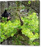Black Bear Family In A Tree Canvas Print