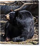 Black Bear Guarding Food Canvas Print
