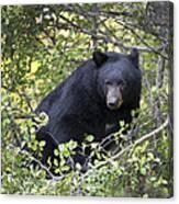 Black Bear II Canvas Print