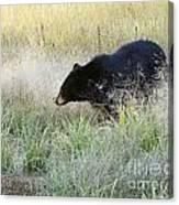 Black Bear In Autumn Canvas Print