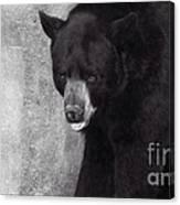 Black Bear Pose Canvas Print