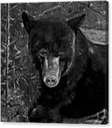 Black Bear - Scruffy - Black And White Cropped Portrait Canvas Print