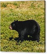 Black Bear  Canvas Print