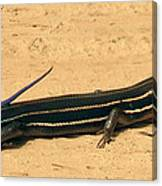Black Beauty. Five Lined Skink. Canvas Print