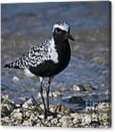 Black-bellied Plover No.2 Canvas Print