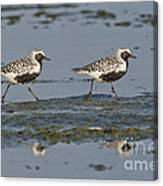 Black-bellied Plovers Canvas Print