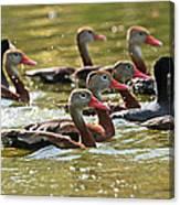 Black-bellied Whistling Ducks Canvas Print