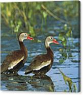 Black-bellied Whistling Ducks Wading Canvas Print