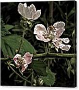 Black Berry Blossoms Canvas Print