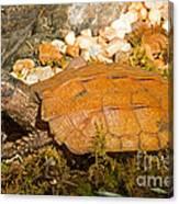 Black Breasted Leaf Turtle Canvas Print