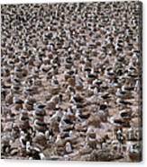 Black-browed Albatross Nesting Colony Canvas Print