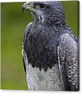 Black-chested Buzzard-eagle Canvas Print