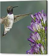 Black Chinned Hummingbird 2 Canvas Print