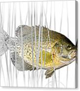 Black Crappie Pan Fish In The Reeds Canvas Print