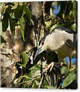 Black-crowned Heron Looking For Nesting Material Canvas Print